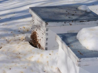 bees winter deaths