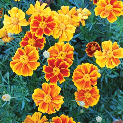 Marigolds fight mosquitoes