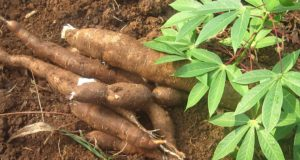 Cassava: The Drought-Resistant 'Super Survival' Plant That Can Feed Everyone