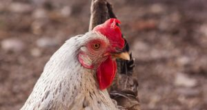 Compost: The Cheapest Way To Feed Your Chickens When You Can't Free-Range