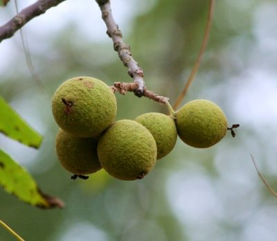 3 Lesser-Known, Super-Hardy Fruit Trees Every Homesteader Should Consider