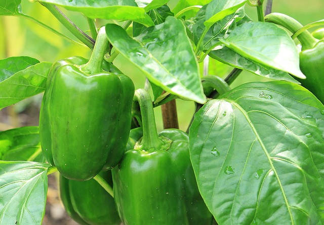 How To Grow Peppers Indoors All Winter Long