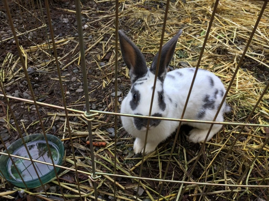 3 Rabbit Breeds You'll Want When Society Collapses