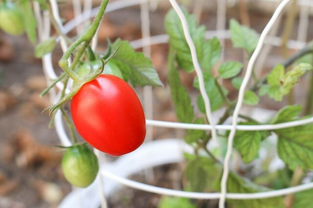 How To Grow 6-Inch Tomato Plants In Only 1 Week