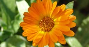 Medicinal Uses of Marigolds