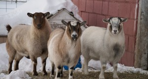 Preparing Goats and Sheep for Winter