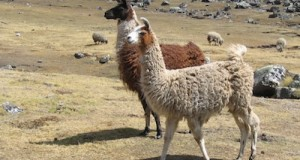 Protect Your Perimeter with Llamas