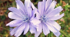 The Natural Healing Herb of Chicory