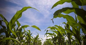 The Importance Of Corn In The American Economy