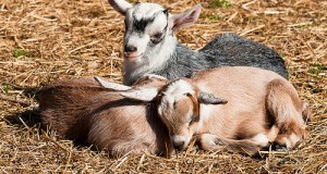 A Home Of Their Own: Building A Safe And Healthy Habitat For Your Goats