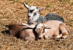 So You Have Caught A Case Of Goat Fever