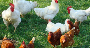 Why Almost Everyone Is Wrong About Choosing Best Homesteading Chickens