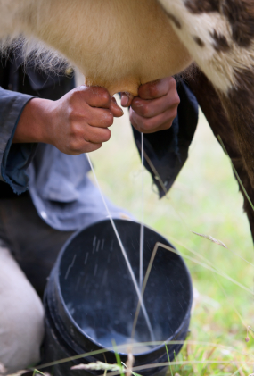The Forbidden Truth About Raw Milk