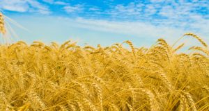 BREAKING: Oregon GMO Wheat Was Stored In Government-Controlled Facility