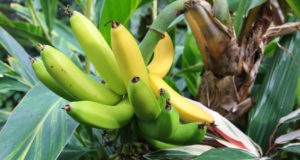 How To Grow Banana Trees In Your Off The Grid Garden
