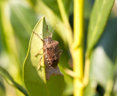 Get rid of stinkbugs