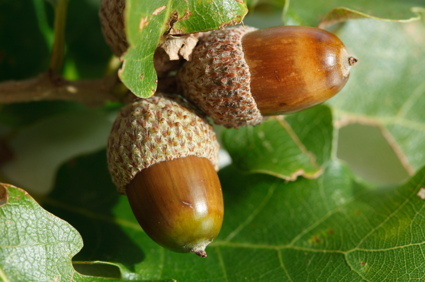 The Natural Healing Power Of Oak Trees And Acorns - Off The Grid News