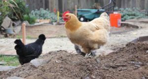 4 Secrets To Keep Free-Range Chickens From Destroying Your Garden