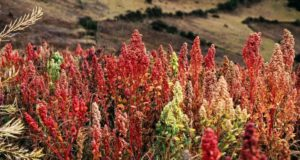 Tips For Growing Your Own Quinoa