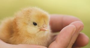Spring Guide To Raising Healthy Chicks