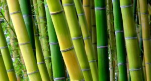Bamboo: The Ultimate Homestead Survival Tree