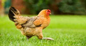 How Backyard Chickens Can Help Your Garden Thrive