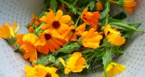 Calendula: The Amazing Flower That Heals Wounds, Fights Dermatitis, And Even Repairs Varicose Veins