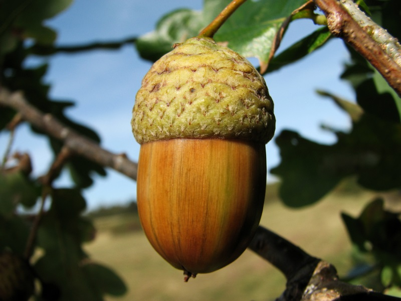 How to cook eat and even make coffee with acorns the