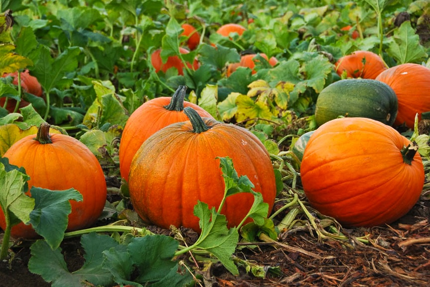 New Ideas For Cooking Harvest-time Pumpkins