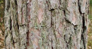 Edible Tree Bark: The Ultimate Survival Food