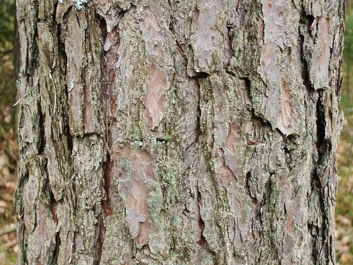Edible tree bark the ultimate survival food off the for Tree trunk uses
