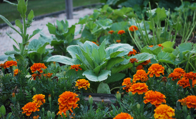 8 Garden Flowers That Chase Away Vegetable-Eating Bugs