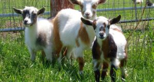 6 Livestock You Can Raise On Just 1/4 An Acre