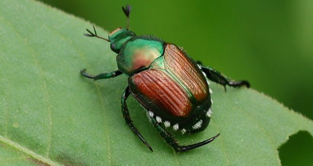 Natural Japanese Beetle Repellants For Your Garden