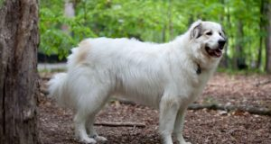 Choosing A Homestead Dog: Why Conventional Wisdom Often Is Wrong