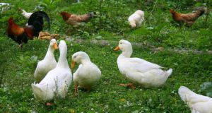 3 Problems You Better Solve Before Raising A Mixed Flock