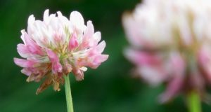 Clover: The 'Annoying' Little Weed That Is Edible, Tasty, And Nutritious, Too