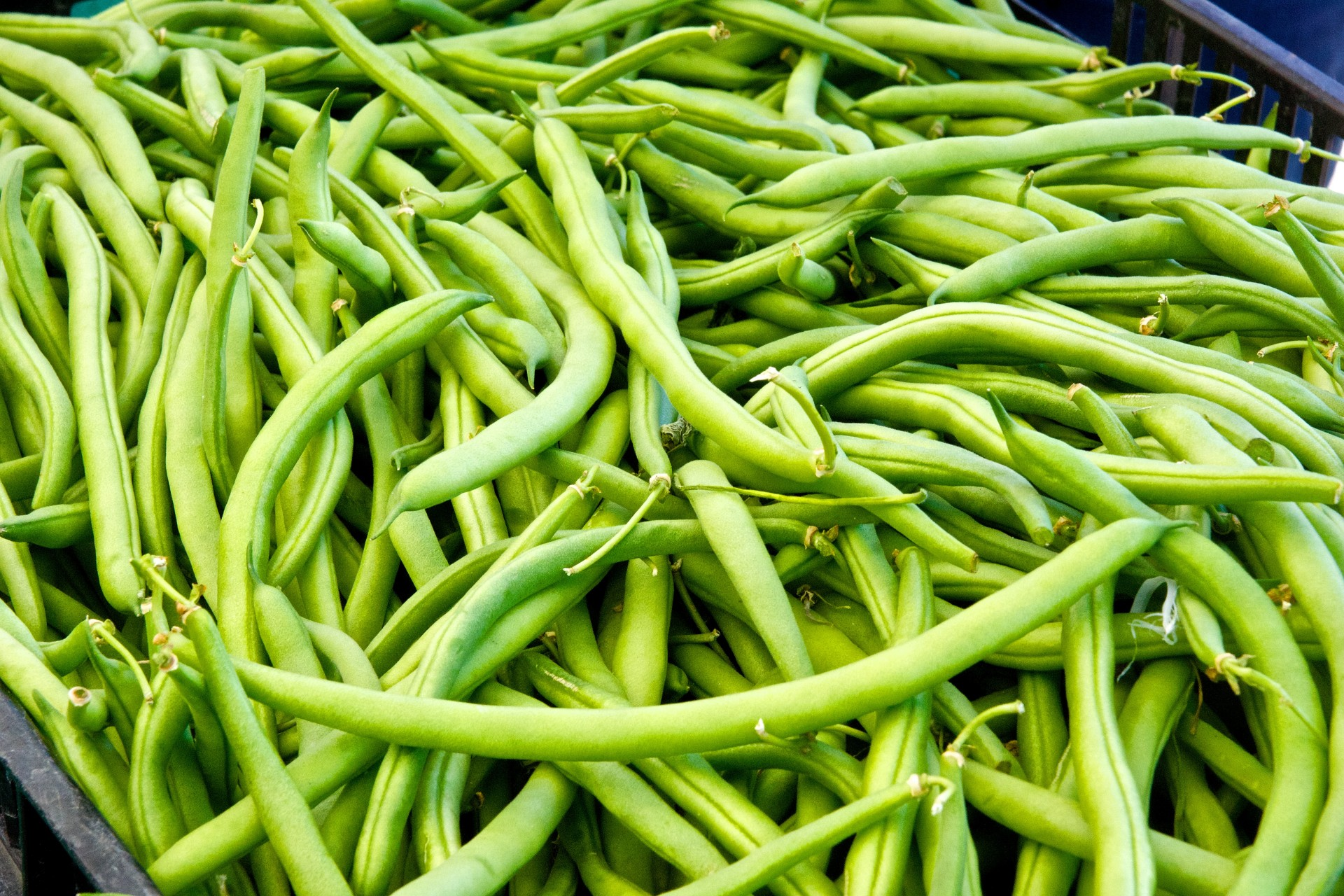 Miss Gardening Grow Green Beans Indoors This Winter Off