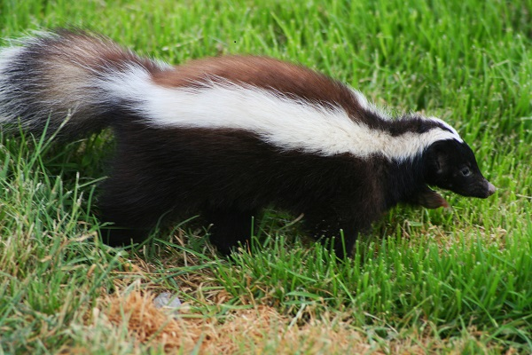 Kill A Skunk? Go To Jail (That's What Happened To This Man)