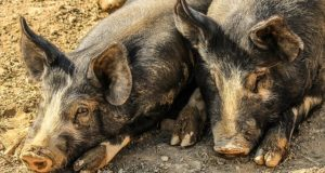 Hog Apocalypse: This State's Gonna Kill 2.5 Million Pigs With Poison