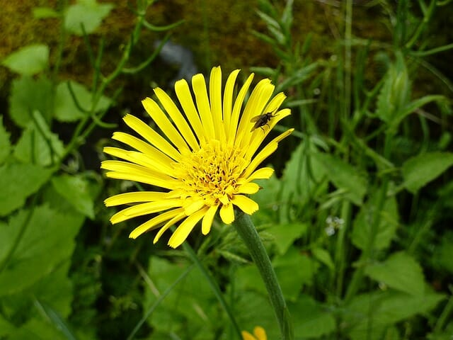 Arnica: The Secret Native American Pain Reliever