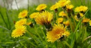 5 Forgotten Things Grandma Did With Dandelions