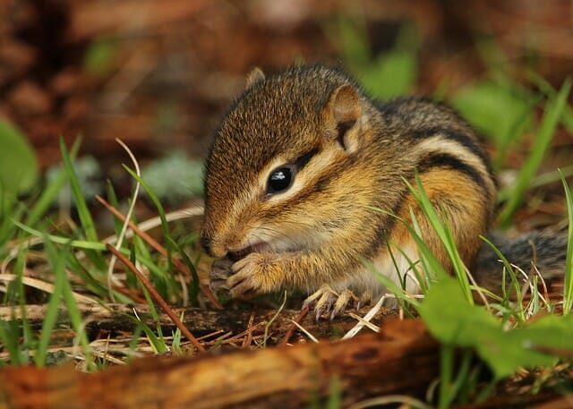12 Clever Ways To Keep Rodents (Including Chipmunks) Out Of Your Garden