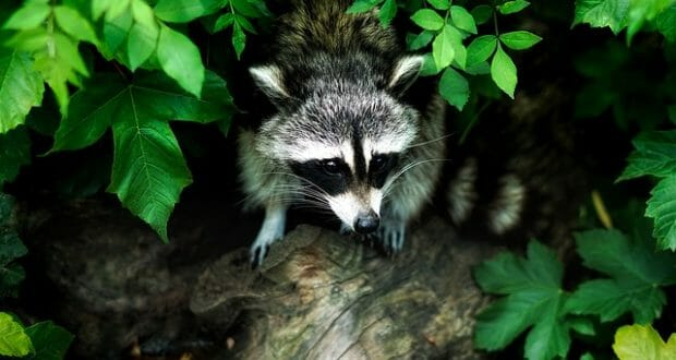 6 Natural Ways To Keep Raccoons Off Your Property Off
