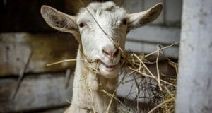 Why Free Animals Are A BAD Homestead Investment