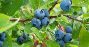 How To Successfully Grow Blueberries In Your Survival Garden